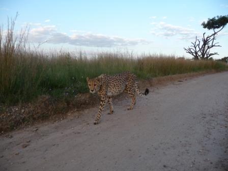 Avondwandelingetje met de Cheetah
