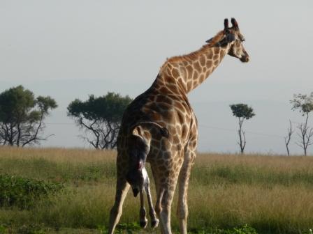 Bevalling Giraffe