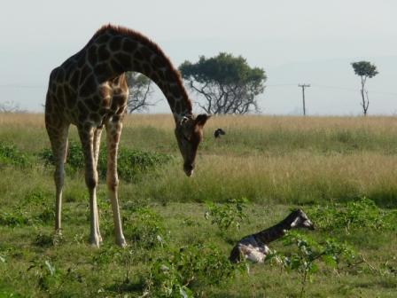 vervolg bevalling Giraffe