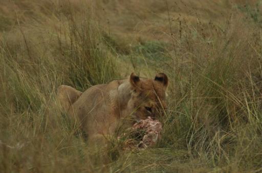 Lion kill-550