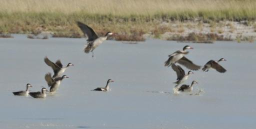Cape Teals - need a better lens!-550