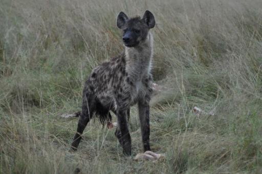Hyena at the  lion kill-550