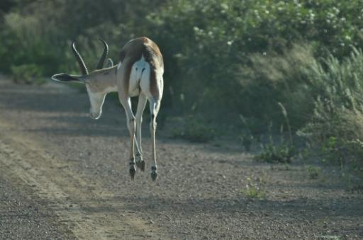 Springbok-550