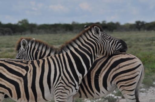 Zebra crossing-550