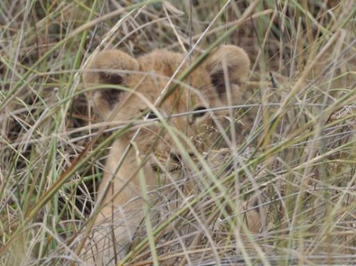 Lion cub-550
