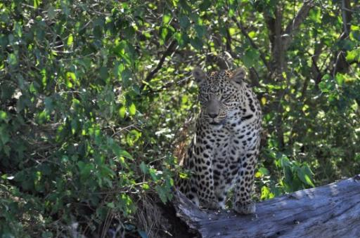 Leopard-550