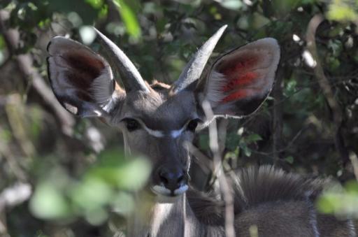 Kudu-550