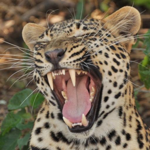 Leopard (2)-550