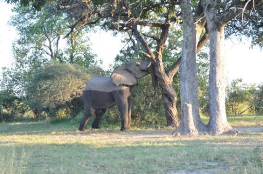Elephant shaking a marula tree