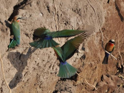Bee-Eaters in the banks of the river