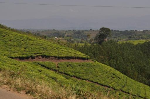 Tea plantations as we drove into Tanzania