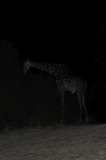 Giraffe at night in camp