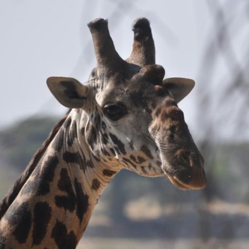 Knobbly nosed Giraffe