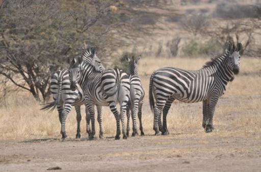 Zebra Ruaha