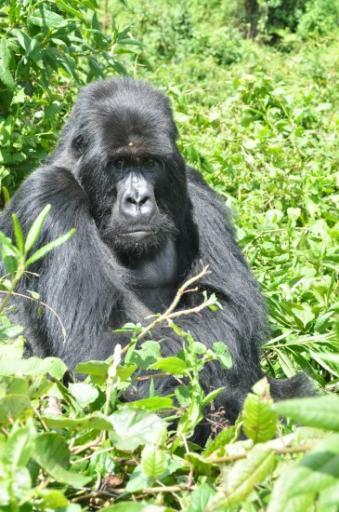Silverback - Ugenda - gorillas 386-550