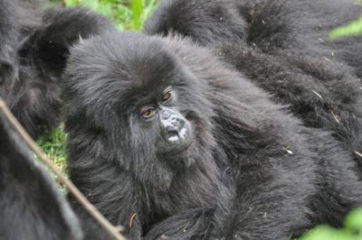 Ugenda family gorillas 451-550