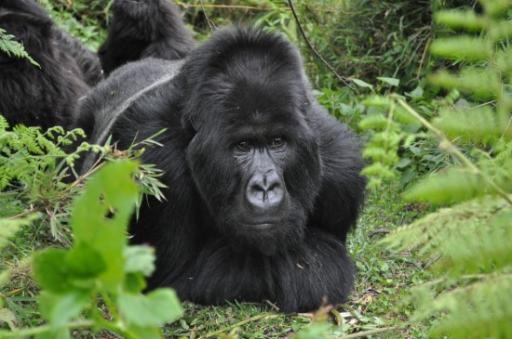 Silverback from the Ugenda family 561 550