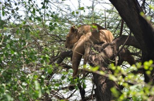 Lake Manyara - Tree climbing lions 125-550