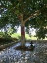 Heilige boom