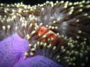Pink Anomone fish