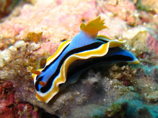 Blue Yellow Nudibranch Mid Life Crisis Pacific Dive Tour