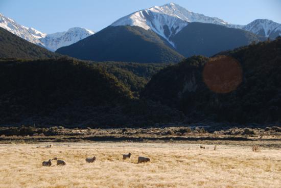 Road-side sheep