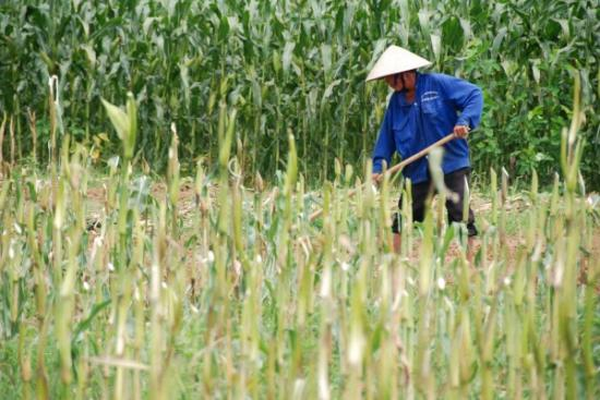 Man working the corn fields