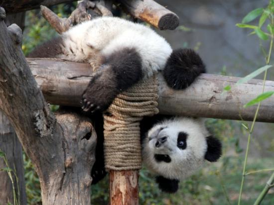 Panda at play