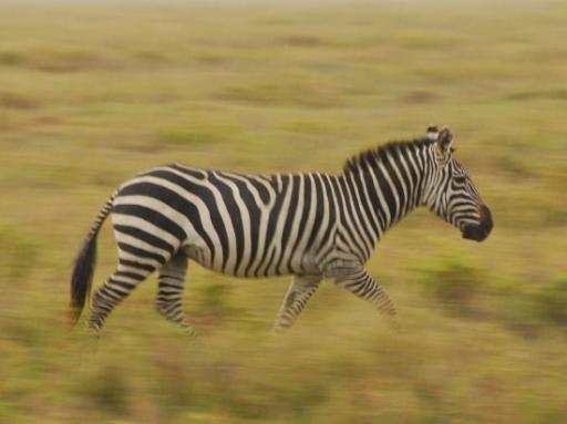 Zebra running through the grass