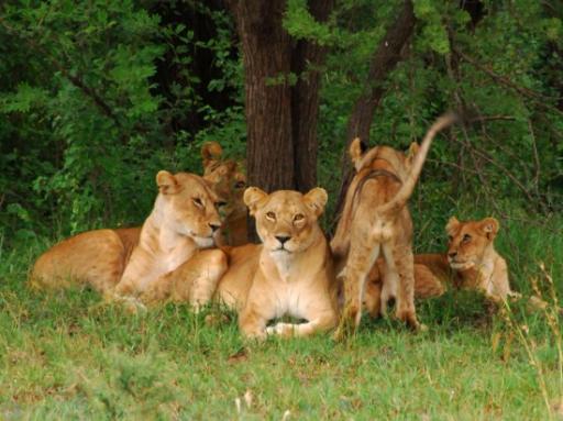 Pride of nine lions