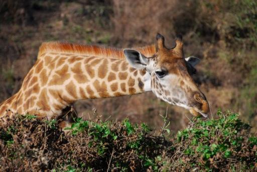 Giraffe eating acacia leaves