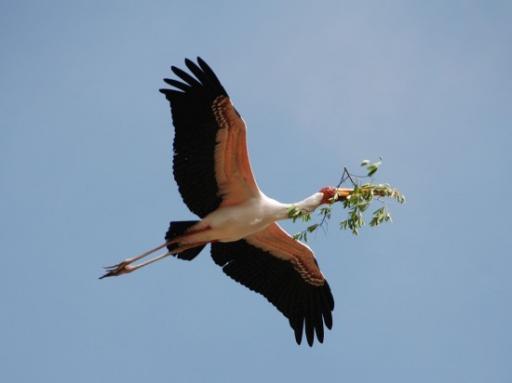 Yellow-bill stork building nest