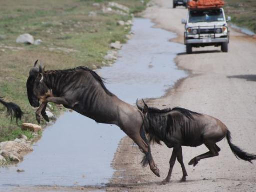 Wildebeest crossing the road