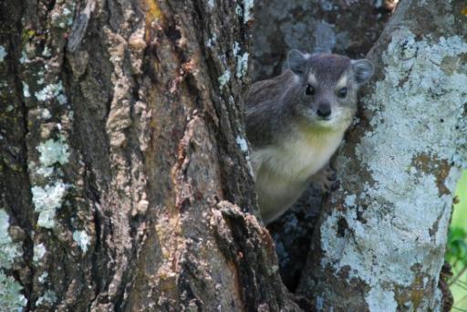 Hydrax peeking from tree
