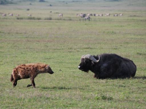Hyena vs. Buffalo