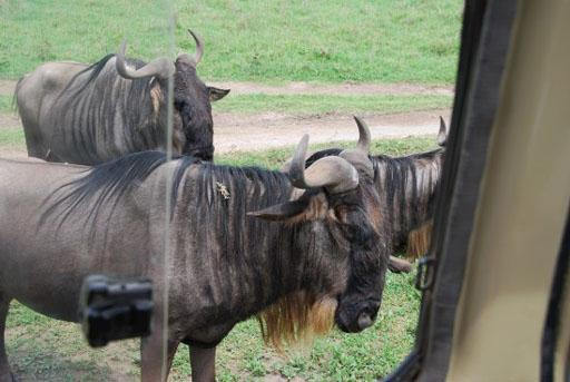 Wildebeest close enough to pet