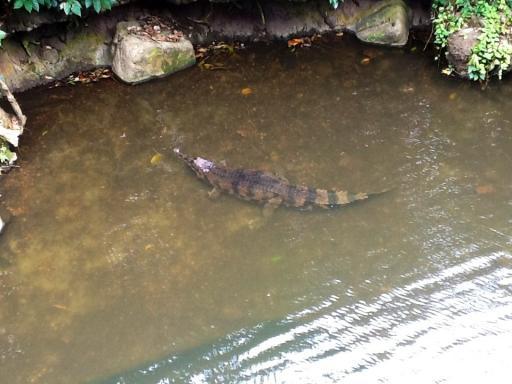 Wannabe crocodile