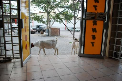 Goats at Internet Cafe in Maun