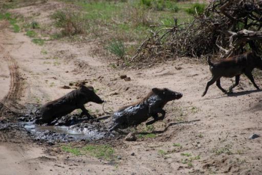 Baby Warthogs