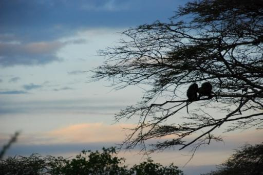 Baboons Watching Sunrise