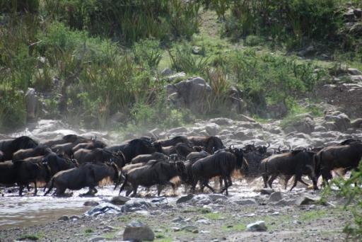 Wildebeast Crossing River