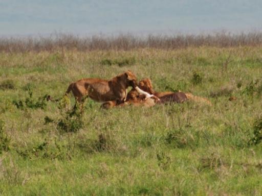 Lions Tearing at Buffalo