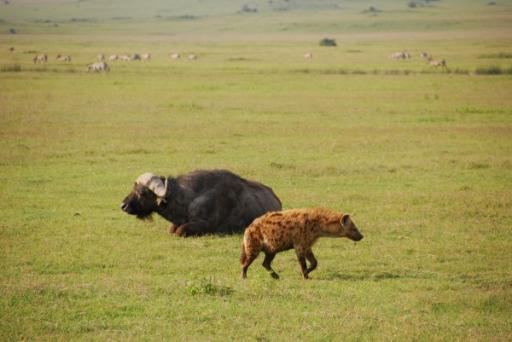 Buffalo and Hyena - Living Together