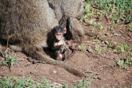 Baby Baboon with Mom