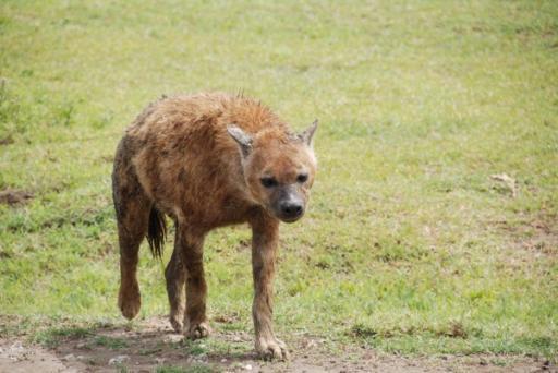 Hyena Approaching