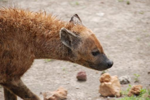 Up Close with a Hyena