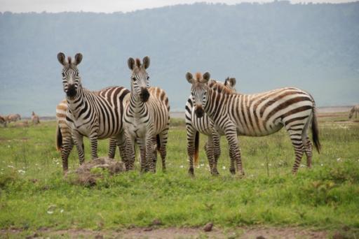 Zebra's Wondering What We Are Doing