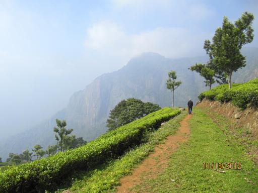 A walking path on the tea estate
