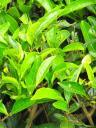 A tea plant