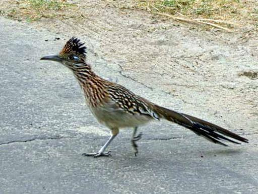 Roadrunner In The Campground